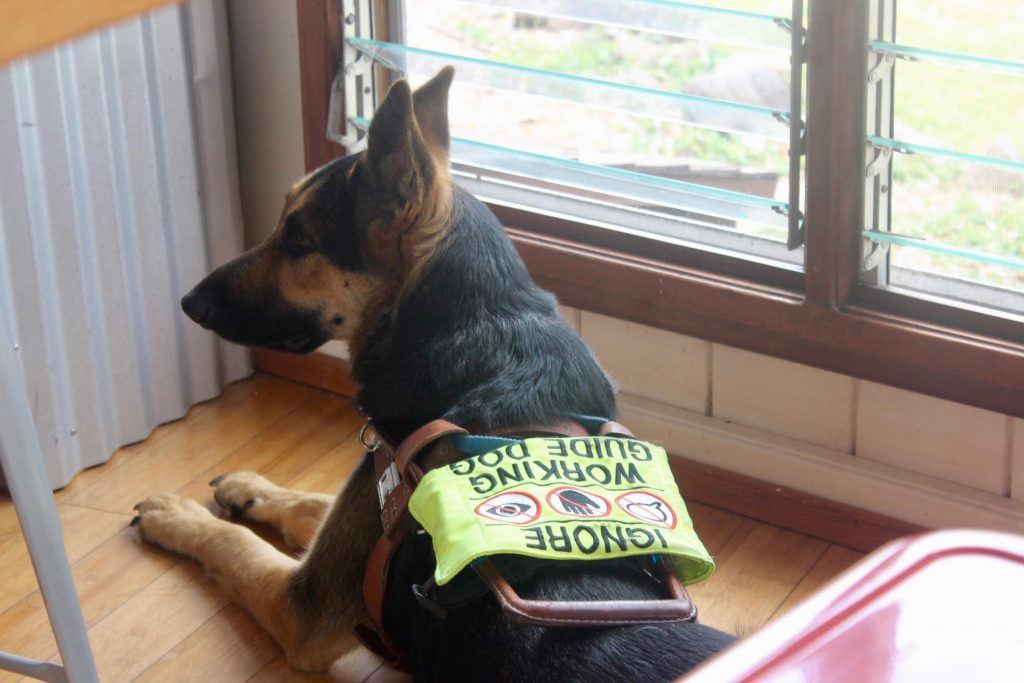 """A german shepherd guide dog in in harness, laying by a window. The dog's harness reads """"ignore. working guide dog."""""""